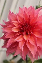 dahlia-flowers-pretty-flowers